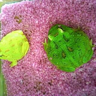 珍貴稀有小親蛙*^_^2隻