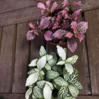 Fitunia Plants