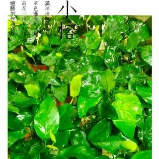 🌳【水之舞坊】造景不敗陰性草 小榕 同等價位中之極品《 特價1盆49元》
