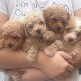 Dijual toy poodle