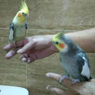 Two Cockatiel Birds