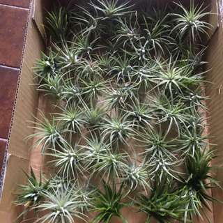 Airplants 3 for $10