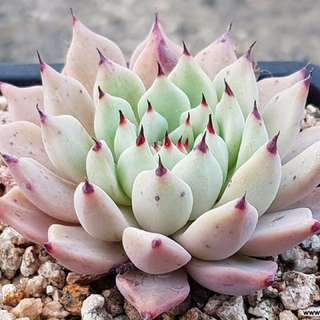 😍RARE SUCCULENTS: W058 - Echeveria mexensis 'Zaragosa' (FIRST COME FIRST SERVE! VERY LIMITED STOCKS!)😱