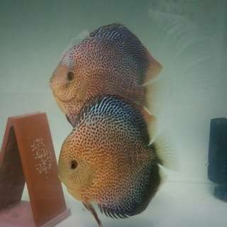 Discus **X'mas special** Full Face Spotted Penang Eruption