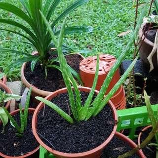 Aloe Vera Plant (organic compost soil)