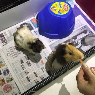 Pair of female Guinea pigs. About one year old with cage. Food. Carrying case and bedding