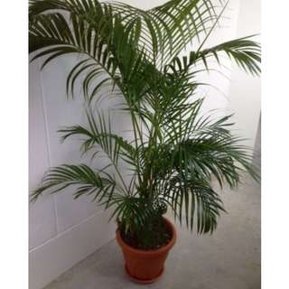Yellow Palms (5 pots)