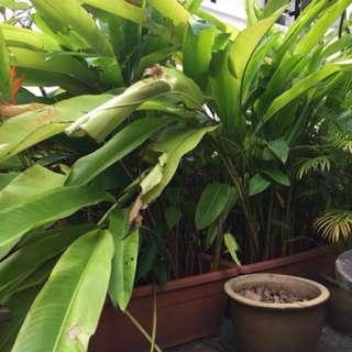 Screening Plants.