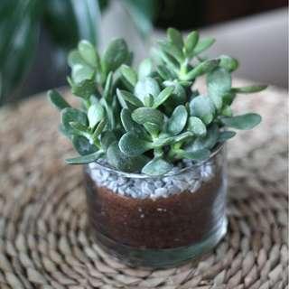 XMAS FLASHSALE : Potted Red Edge Jade Plant (Crassula Ovata)