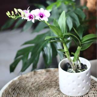 XMAS FLASHSALE : Potted Desk-sized Dendrobium Orchid