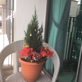 Real christmas tree for sale