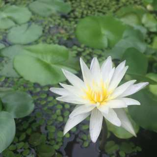 Water lily (white flower)