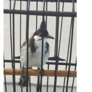 Jumbul bird