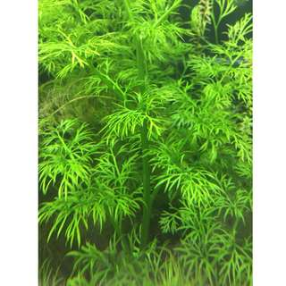 Water sprite / Indian fern (Ceratopteris thalictroides)