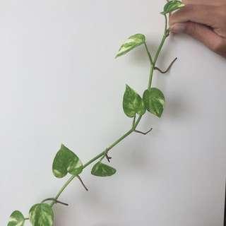 Small-leaved pothos / money plant (Epipremnum aureum)