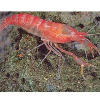 Alpha opae ula , alpha super shrimp, alpha supershrimp, alpha red shrimp, alpha shrimp
