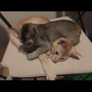 kittens for adoption comes with 1.5m cat condo and litter box