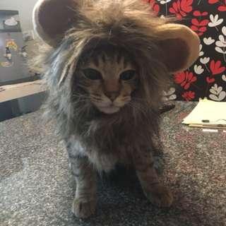 寵物 貓咪 獅子頭套 #舊愛換新歡
