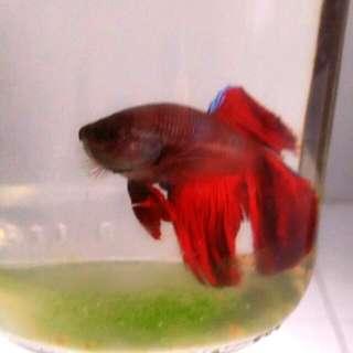 Red Blue Dark Cupang Fish