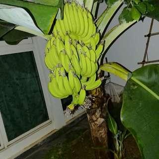 Dwarf Banana Sapling
