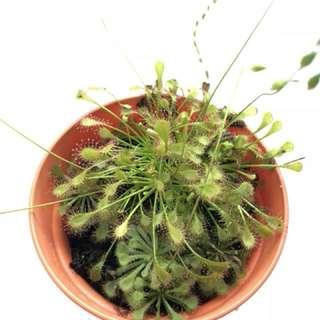 Carnivorous Plant- D. intermedia & D. tokaiensis
