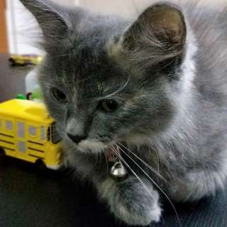 Kitten for adoption. Female Persian mix Main Coon