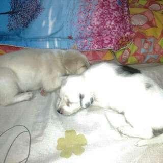 1 Female Golden retriever X Rottweiler And 1 Male Chow Chow X St. Bernard