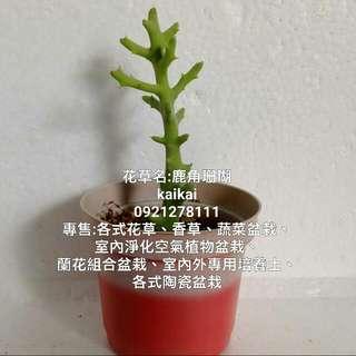 多肉植物:鹿角珊瑚