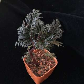 Begonia bipinnatifida for sale