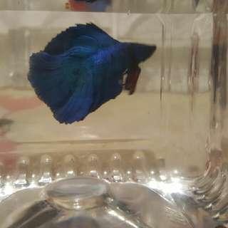 halfmoon blue male betta