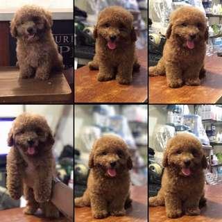 Red toy poodle Dob: 4 sept 2017