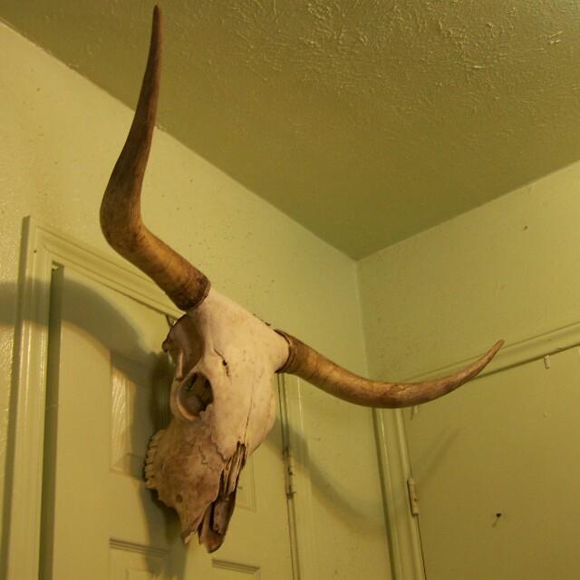 Longhorn Steer Skull With Horns