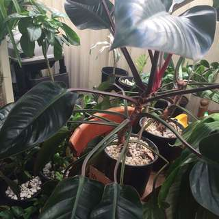 Small -X large Philodendrons Red ( Congo Rojo)