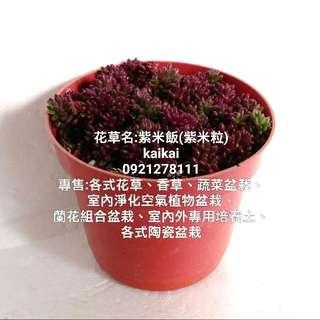 多肉植物:迷你松葉牡丹(紫米飯)