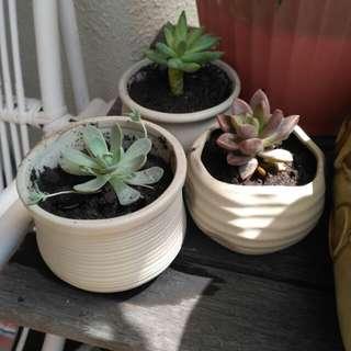Beautiful succulent planta