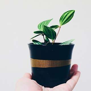 Peperomia with dash of gold