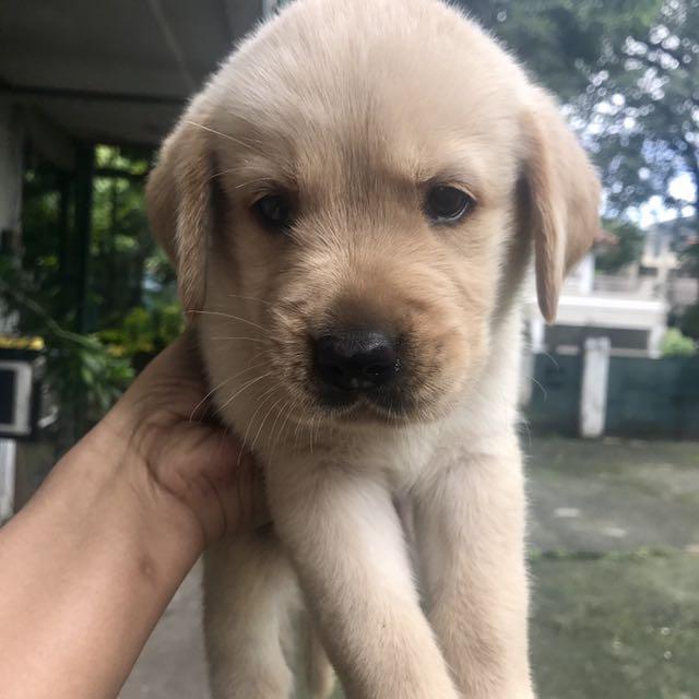 Labrador Retriever X Golden Retriever Puppy Super Cute And Super