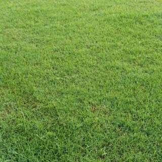 TURF / GRASS (Carpet Grass, Price Varies)