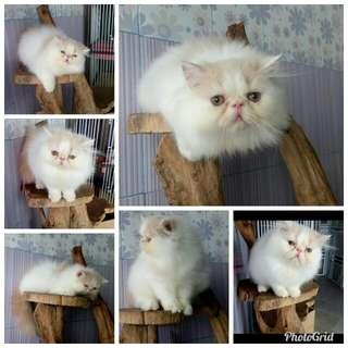 Kucing persia peaknose jantan