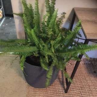 Large Indoor Fern Plant For Sale