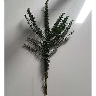 Fresh Eucalyptus Flower