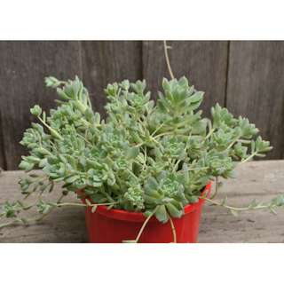LARGE Echeveria Prolifica Clustered Succulent Plant with Roots in 15 cm Pot