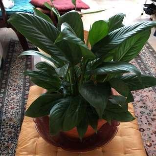 Big pot of peace lilies