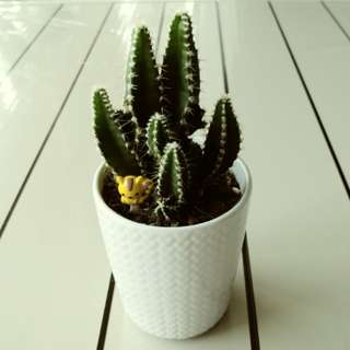 CNY sale! Cactus (Kitty in Desert)