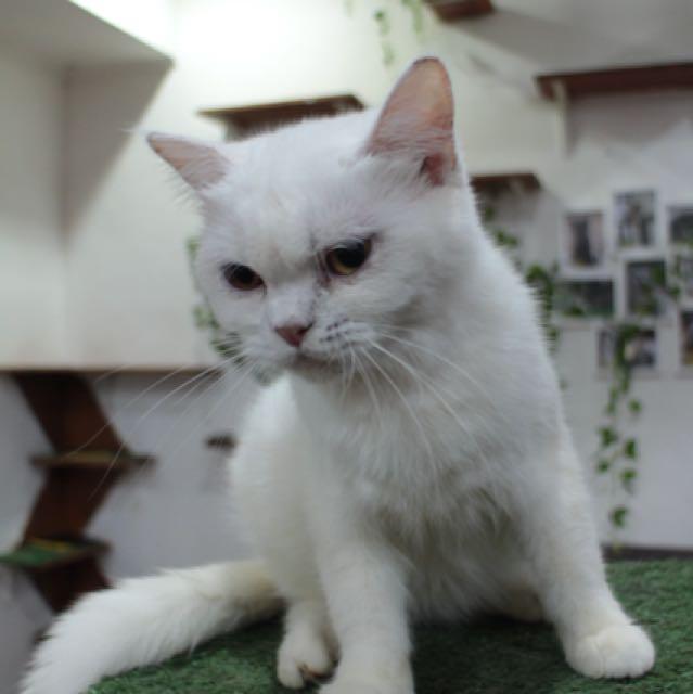 kucing mix anggora mainecoon