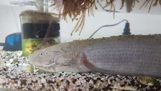 African Lung fish