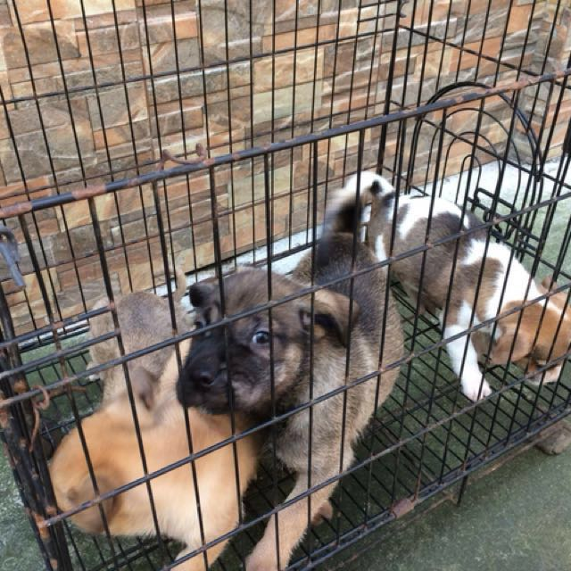 Pooch Puppies for Sale