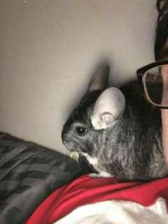 Male Chinchilla Need to Re-home ASAP