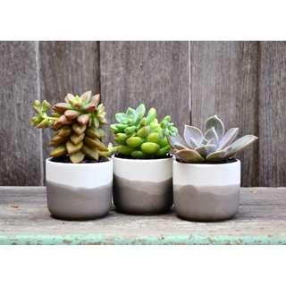 Set of Three Mini White Ceramic Black Ombre Dip Dyed Planters