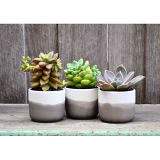 Set of Three Mini White Ceramic Black Ombre Planters